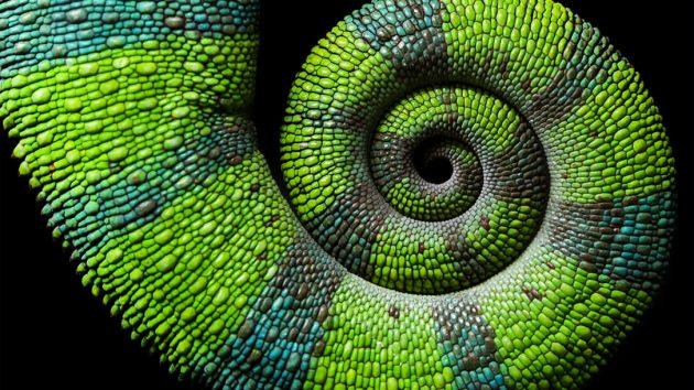 Chameleon spiral tail on black background